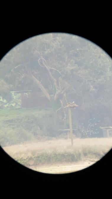 Águila Pescadora  - Ander Balandin Seoane