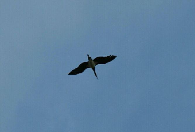 Black Stork  - Julien Mazenauer
