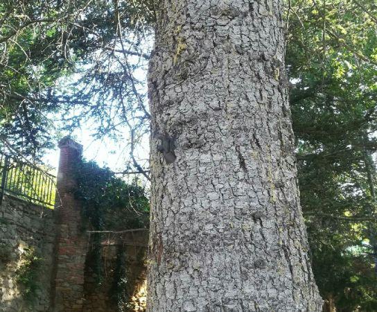 Orellut gris o orellut meridional  - Ramiro Aibar
