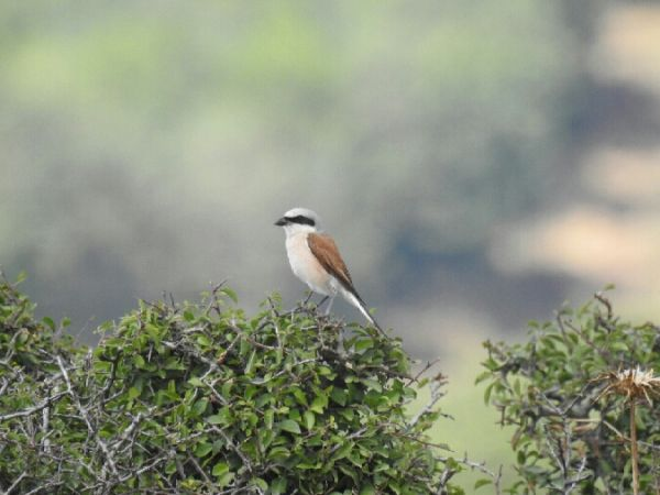 Red-backed Shrike  - Marta PuigdomÈnech