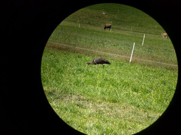 Cigogne noire  - Dietmar Tschabrun