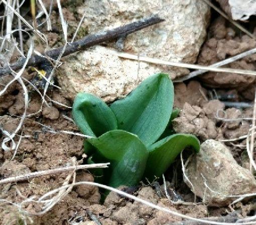 Ophrys pseudoscolopax  - Alain Bultez