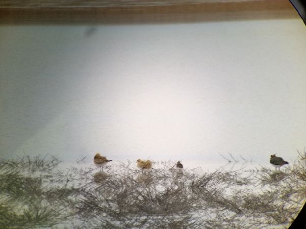 European Golden Plover  - Benjamin Knes