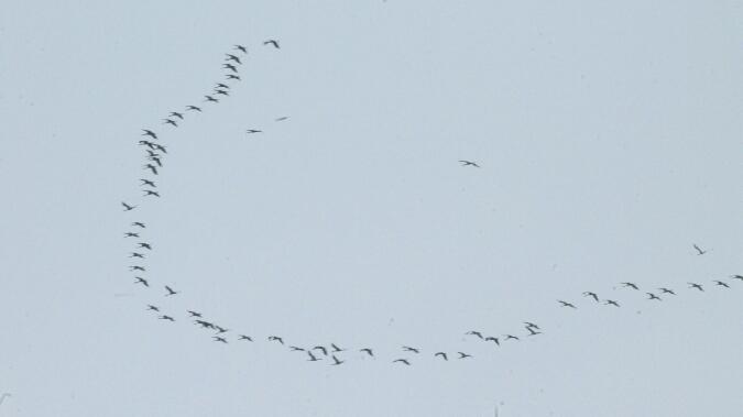 Common Crane  - Sandra Velitchko