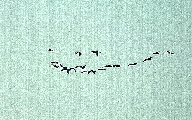 Ibis falcinelle  - Gabriele Tecchiato