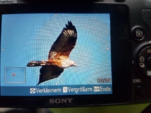 Adlerbussard  - Urs Esslinger