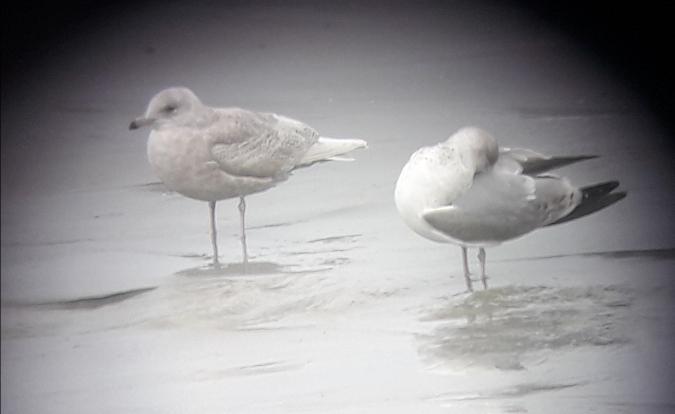 Goéland à ailes blanches  - Gaël Kervarec
