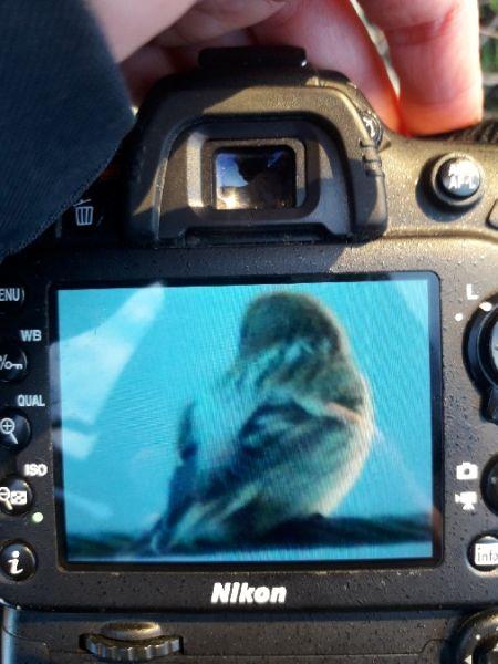 Arctic Redpoll