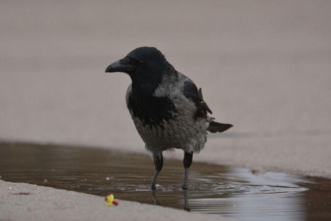 czarnowron x wrona siwa  - Samuel Sosnowski