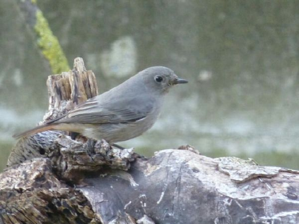 Black Redstart  - Francesco Bellini