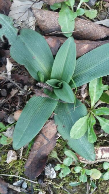 Ophrys exaltata ssp. marzuola  - Gérard Joseph(SFOL)