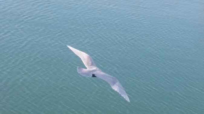 Goéland à ailes blanches  - Frédéric Le Gallo