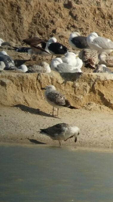 Caspian Gull  - Louis Sallé
