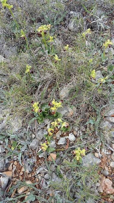 Ophrys lupercalis  - Gérard Joseph(SFOL)