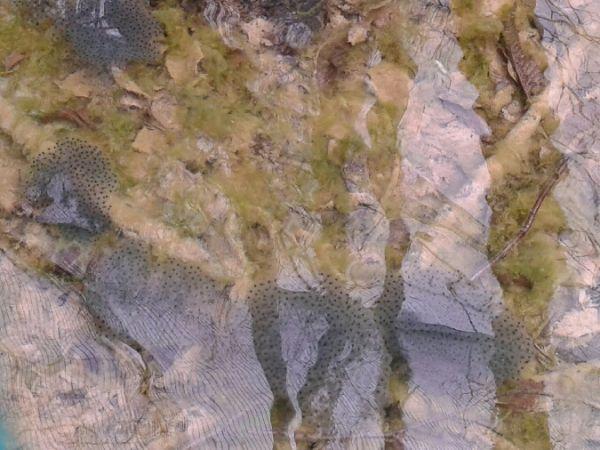 Rana temporaria  - Lucio Bonato