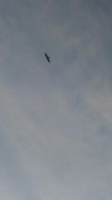 Black Kite  - Jordi Gomez Felip