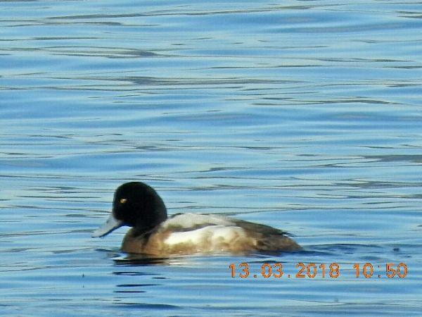 Greater Scaup  - Martin Leitner