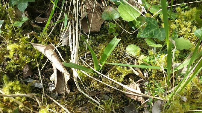 Ophrys insectifera  - Benjamin Herran