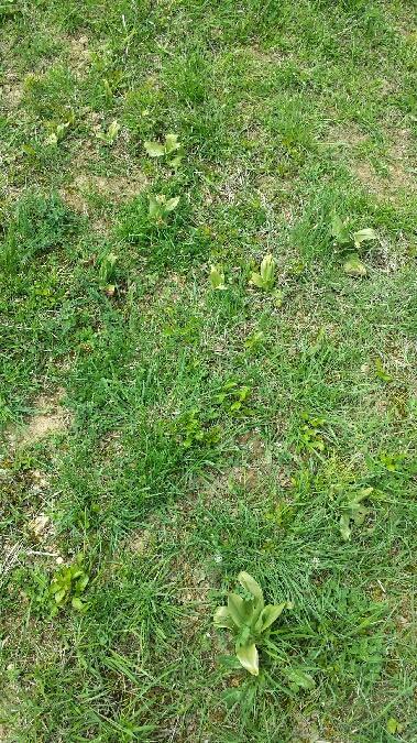 Himantoglossum hircinum  - Benjamin Herran