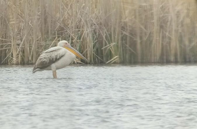 pelikan różowy  - Patryk Fiutek