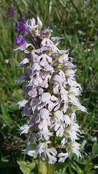 Neotinea lactea  - Francis Bonnet