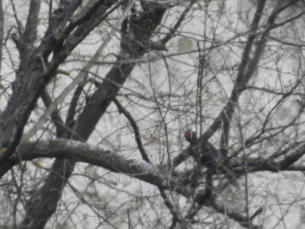 Black Woodpecker  - Omar Bonazzi