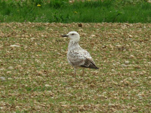 Caspian Gull  - Tommaso Zamò