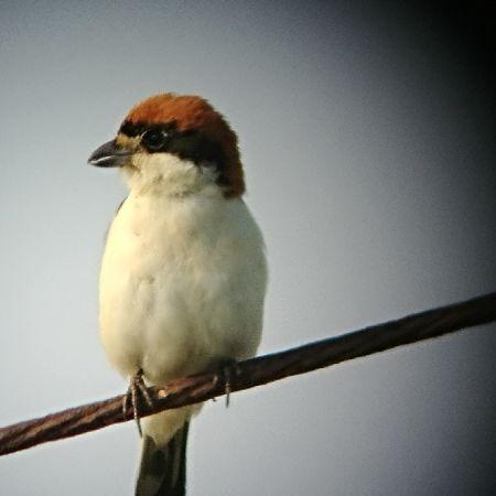 Woodchat Shrike (L.s.badius)  - Francis Lloret