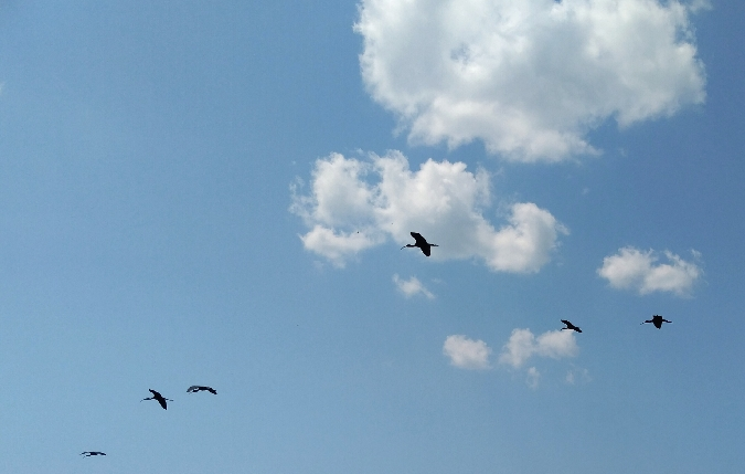 blistavi ibis  - Maja Bjelić