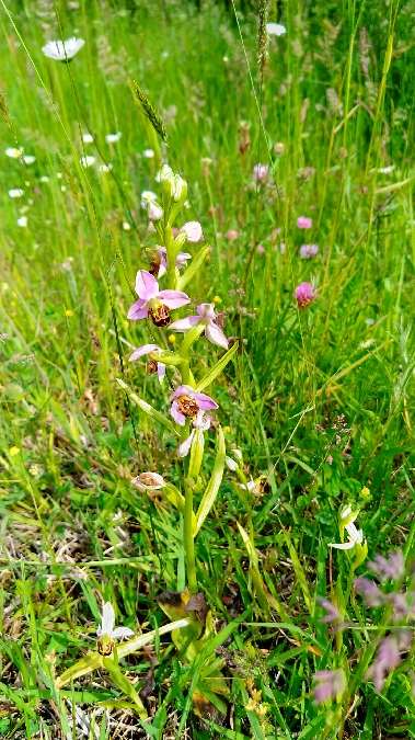 Ophrys apifera  - Isabelle Thiberville