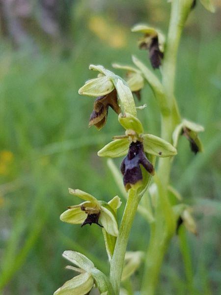 Ophrys aymoninii  - Philippe Feldmann