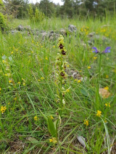 Ophrys aymoninii  - Laurent Couzi