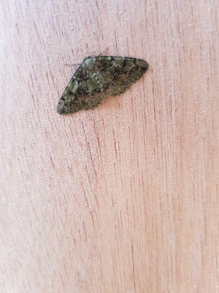 Cleorodes lichenaria  - Julien Mérot