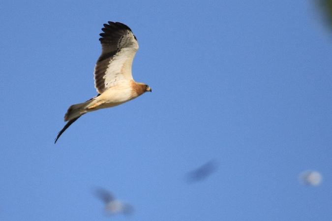 Aigle botté  - Cathy Gournay