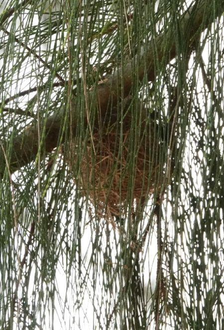 Oiseau-lunettes gris (Zostérops des Mascareignes)  - Cédric Mroczko