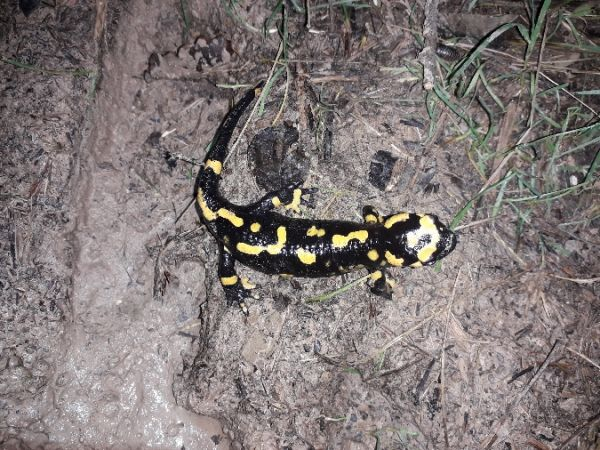 Fire Salamander  - Daniel Espejo Fraga