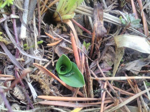 Orchis anthropophora  - Alain Falvard (sfo Auvergne)