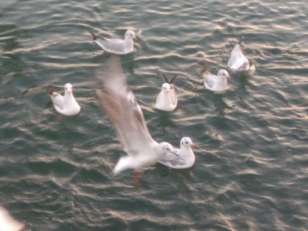 Black-headed Gull  - Guillem Gilabert Oriol