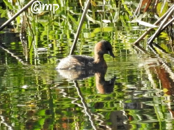 Little Grebe  - Mario Paloni