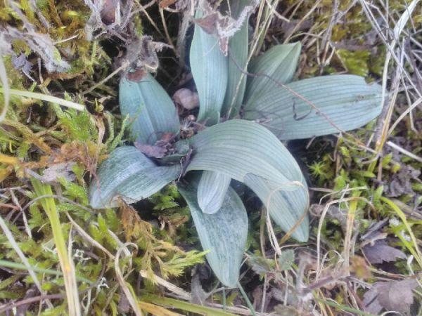 Ophrys sphegodes  - Alain Falvard (sfo Auvergne)