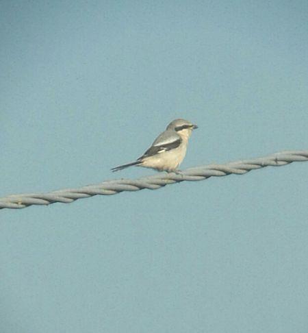 Great Grey Shrike  - Andrea Ravagnani