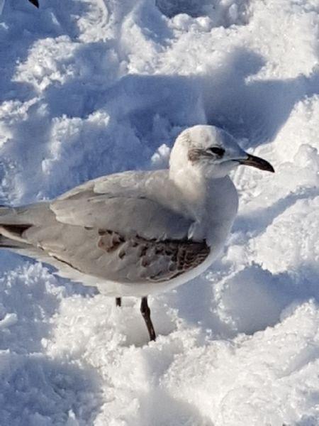 Mediterranean Gull  - Alwin Schönenberger