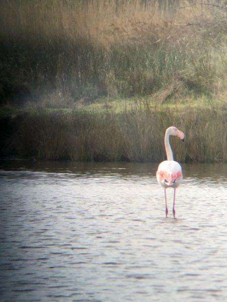 Greater Flamingo  - François Léger