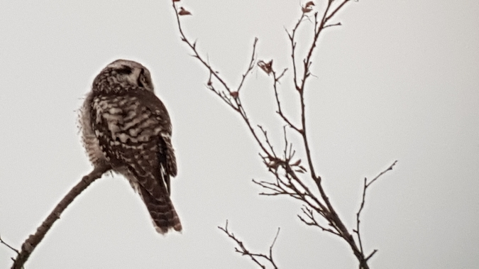 Northern Hawk-Owl  - Marcin Charymski