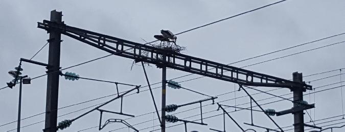 Cigogne blanche  - Georges Risoud