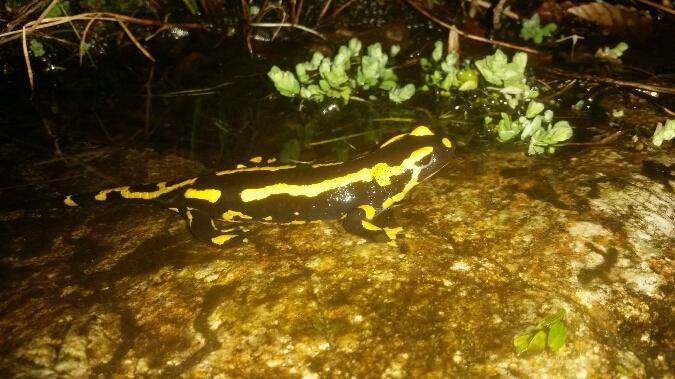 Salamandre tachetée  - Tiffanie Kortenhoff