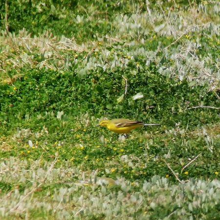 Bergeronnette flavéole (M.f.flavissima)  - Dave Lutgen