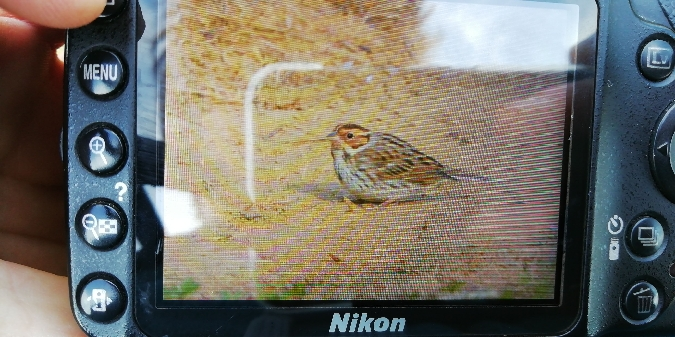 Little Bunting  - Jacopo Barchiesi