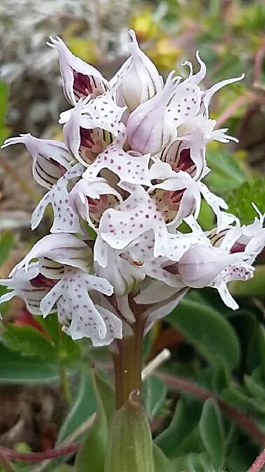 Neotinea conica  - Francis Bonnet