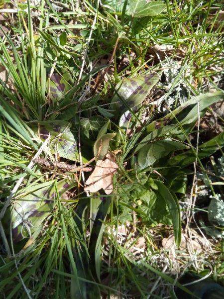 Orchis mascula  - Tristan Guillebot de Nerville